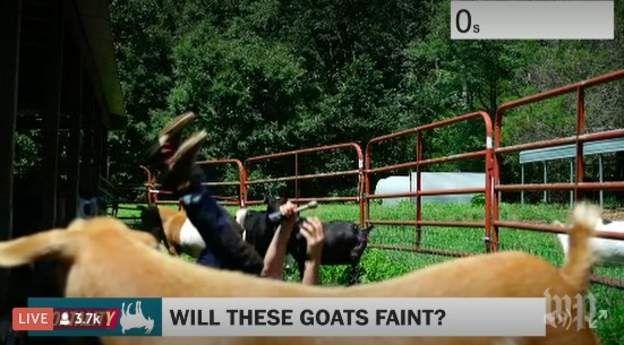 El periodista Dave Jorgenson del diario The Washington Post mostró cómo se vería un desmayo de cabra. FACEBOOK / THE WASHINGTON POST