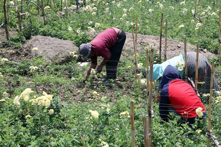 Marcos Tzum trabaja junto a su familia en la producción de crisantemo. En los últimos días perdió parte de su cosecha. (Foto Prensa Libre: Carlos Ventura)