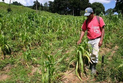 Si la aplicación del fertilizante químico es deficiente, la lluvia lava el mismo y es el producto es arrastrado al lago. (Foto Prensa Libre: Archivo)