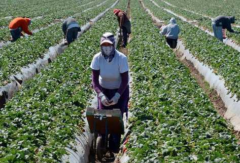 Los trabajadores migrantes cosechan fresas en una granja cerca de Oxnard, California, en Estados Unidos. (Foto Prensa Libre: AFP)