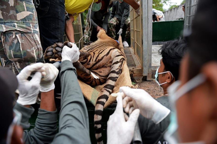 Un tigre es rescatado por personal de protección de fauna y la policia tailandesa. (Foto Prensa Libre: AFP).