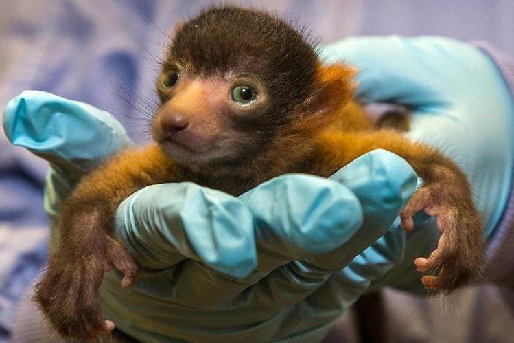 El raro lémur rufo rojo, una especie de primate en peligro de extinción que sólo puede hallarse en la isla de Madagascar. (Foto Prensa Libre: AP).