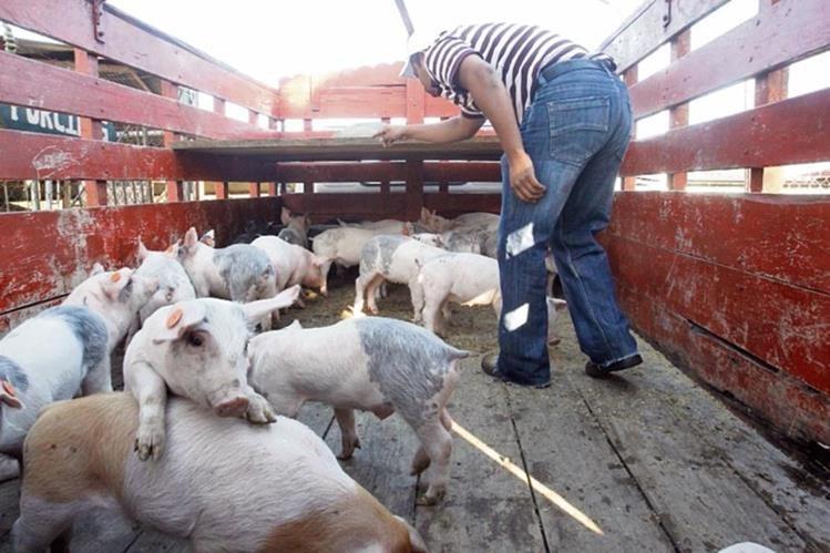 Los cerdos son transportados en camiones desde los puntos fronterizos de México, Belice y Honduras..