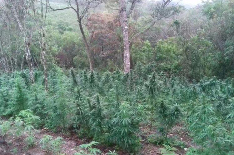 Plantación de marihuana erradicada por autoridades de la PNC y MP. (Foto Prensa Libre: Edwin Paxtor)