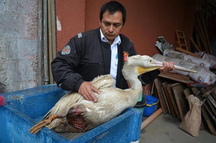 El animal, rescatado en Cantel, tenía una herida en la pata derecha. (Foto Prensa Libre: Stereo 100 Xela)