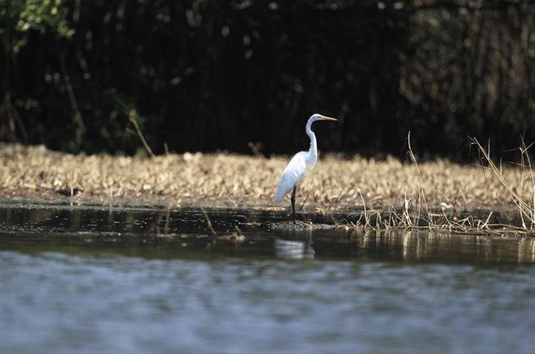 Diversas de aves residentes y migratorias se aprecian durante el recorrido.(Foto Prensa Libre: Carlos Hernández)