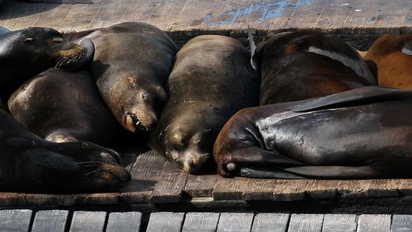 """Las muertes han llevado a que la NOAA declare un """"evento de mortandad inusual"""". Foto: Internet)."""