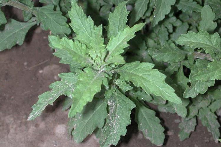 El apazote es un condimento utilizado en muchos platillos populares, pero hay otros más, poco conocidos.