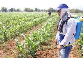 El ICTA cultiva maíz mejorado en Zacapa, para abastecer de semilla a familias que viven el Corredor Seco. (Foto Prensa Libre: Hugo Oliva)