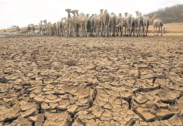 Una manada de animales se observa en lo que fue una laguna en territorio de Kenia. Las sequías provocadas por el fenómeno del Niño amenazan la vida de millones en el planeta. (Foto Prensa Libre: Hemeroteca PL).