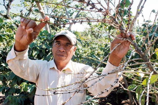 Caficultor muestra una de las plantas dañadas, en San Pedro Yepocapa, Chimaltenango.