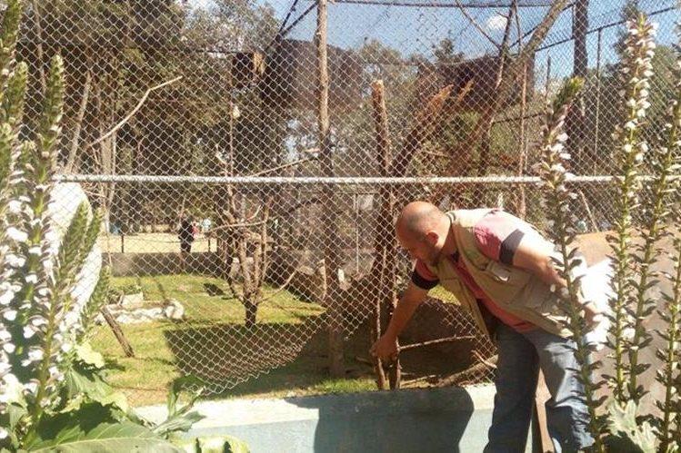 Un trabajador del Zoológico Minerva, en Xela, muestra lugar donde delincuentes extrajeron las aves robadas. (Por Prensa Libre: María José Longo)