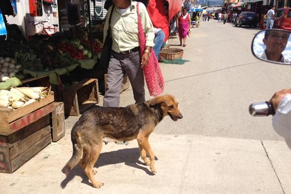 """<p>La mayor parte de casos de rabia de Baja Verapaz, se han registrado en perros. (Foto Prensa Libre: Carlos Grave)<br _mce_bogus=""""1""""></p>"""