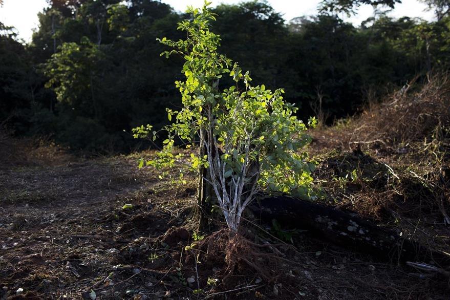 Campesinos dicen que el cultivo de la hoja de coca les permite un poco de mejores ingresos económicos. (Foto Prensa Libre: AP).