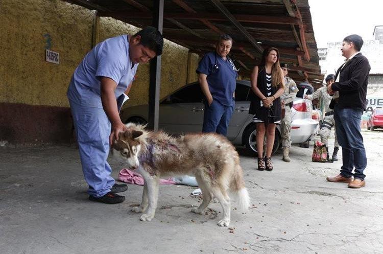 El rescate de Locky es el primer caso de la nueva Ley de Bienestar Animal. (Foto Prensa Libre: Unidad de Bienestar Animal del Maga).
