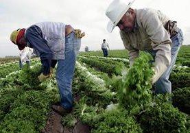 Inmigrantes guatemaltecos trabajan en una finca cosechando lechuga. (Foto Prensa Libre: AFP).