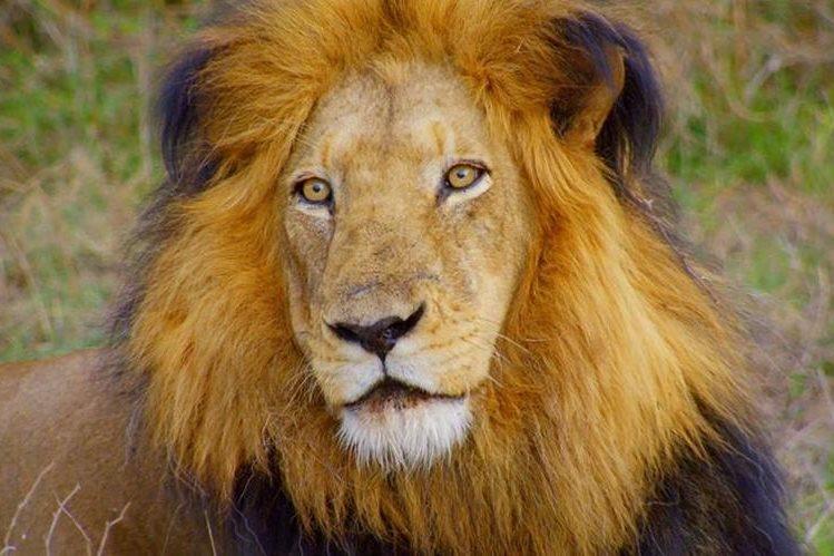 Imagen referencial. Las sospechas por la muerte de los leones apuntan a ganaderos locales. (Foto Prensa Libre: AP).