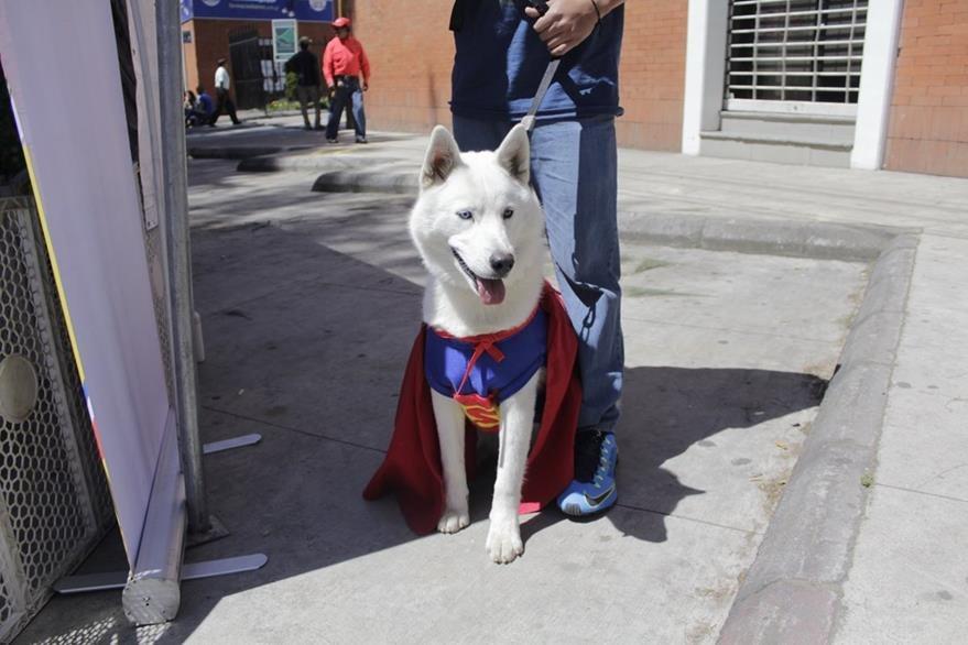Una de las mascotas  que fue disfrazada para ayudar a canes maltratados. (Foto Prensa Libre: María José Longo).
