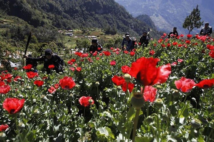 Fuerzas de seguridad erradican plantaciones de amapola en Tuninchun, Santa Isabel y Tuichan, en San Marcos. (Foto Prensa Libre: Hemeroteca PL)
