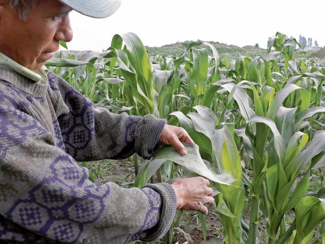 varios cultivo, se han visto impactados por la caída de ceniza en tres departamentos.