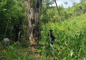 Las plantas de marihuana fueron localizadas entre unos sembradíos de maíz y frijol, en las cercanías de la zona de adyacencia con Belice. (Foto Prensa Libre: Rigoberto Escobar)