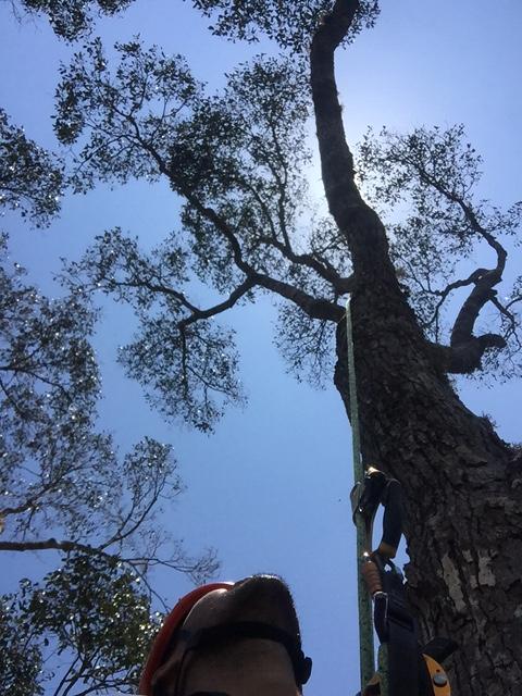 La especie descubierta podría ser el mayor árbol tropical del mundo, de 89.5 metros de altura. (Foto tomada de: dpaq.de/HQTzB/ Boris Bongalov).
