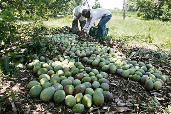 Según productores, la canícula del 2014 y bajos precios son las causas de la baja cosecha.