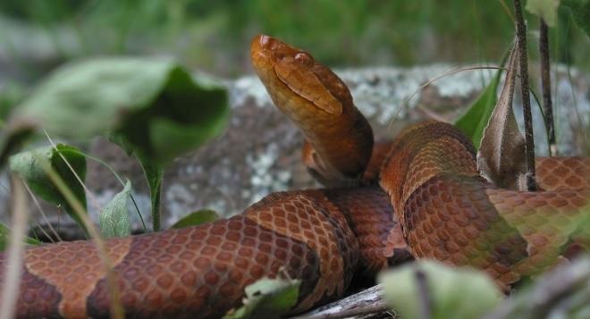 Serpiente en cautiverio se reprodujo por sí misma.