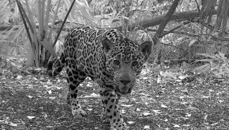 El Jaguar es una de las especias endémicas en peligro de extinción. (Foto Prensa Libre: Conap)
