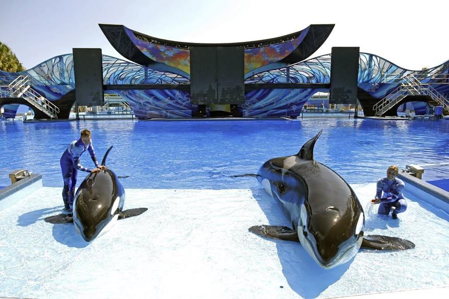 Entrenadores de ballenas en el parque acuático Sea World de Florida. (Foto Prensa Libre: AP).