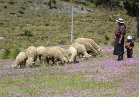 Vecinos de Todos Santos Cuchumatán mejoran la calidad de sus rebaños.