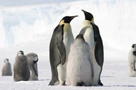Pinguinos emperadores.