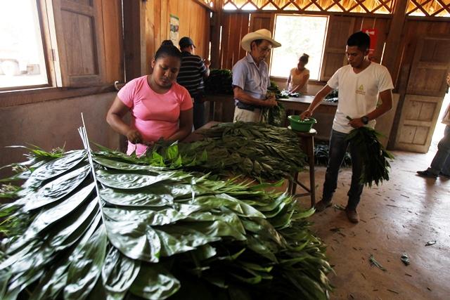 Pobladores de  Carmelita obtienen hojas de xate de la selva, en la Reserva de la Biosfera Maya, San Andrés, Petén.(Prensa Libre: Paulo Raquec)