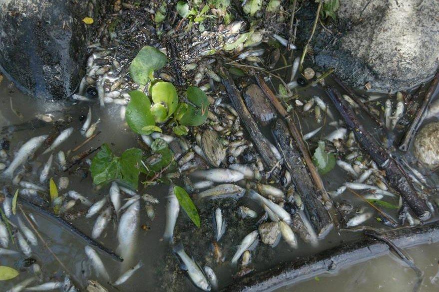 Peces muertos por contaminación en el río Motagua causada por químicos vertidos en el agua. 15/01/2003. (Foto: Hemeroteca PL)