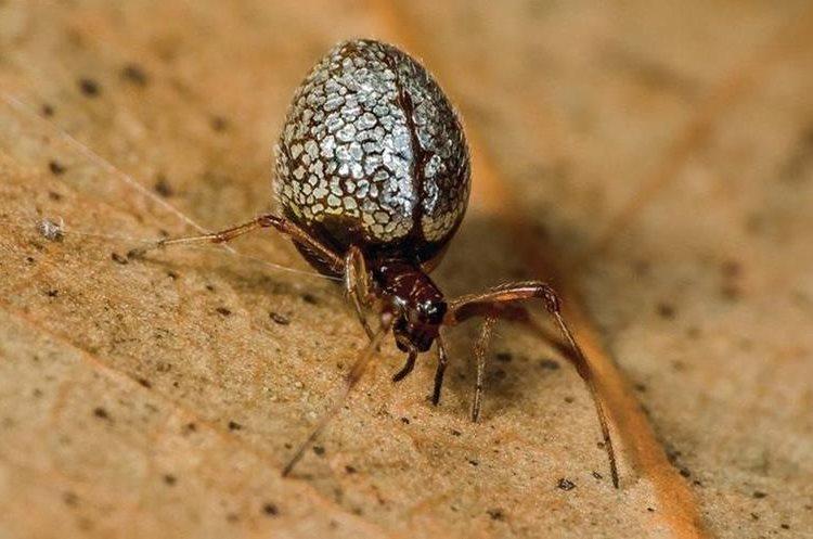 A esta araña del género Argyrodes se la conoce también como gota de rocío. Aunque tejen su propia tela, invaden la telaraña de otras arañas y se roban sus presas. JÜRGEN OTTO WWW.FACEBOOK.COM/PEACOCKSPIDER
