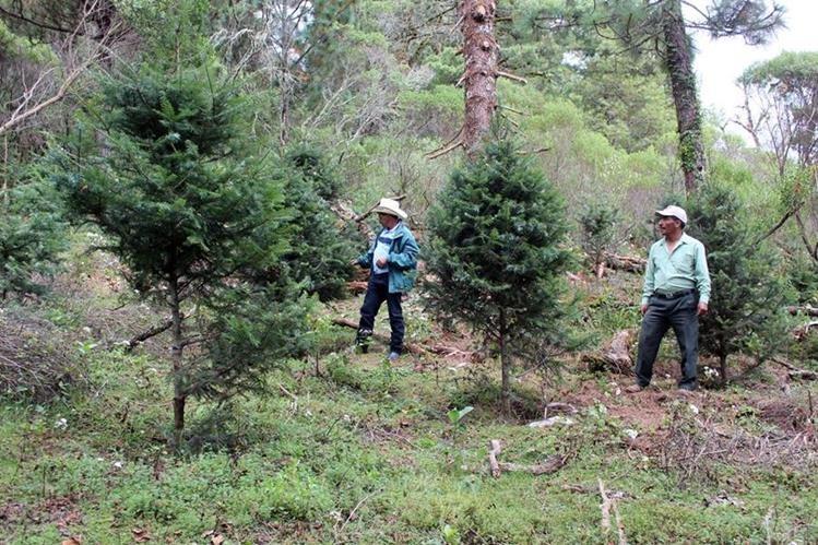 Productores de pinabete en San Juan Ixcoy reciben capacitación sobre técnicas para podar su plantación. (Foto Prensa Libre: Mike Castillo)