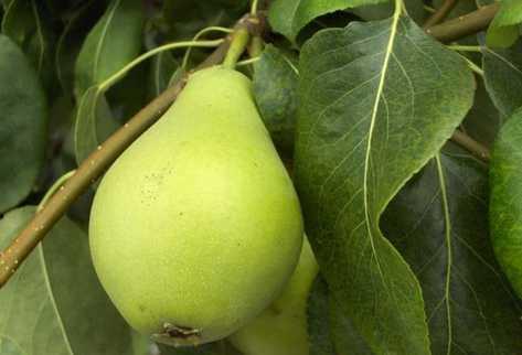 Los beneficios de la pera