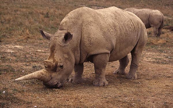 <em>Cientos de rinocerontes y otros animales en peligro de extinción están huyendo de las inundaciones en el noreste de la India. (Foto Prensa Libre: Internet).</em>