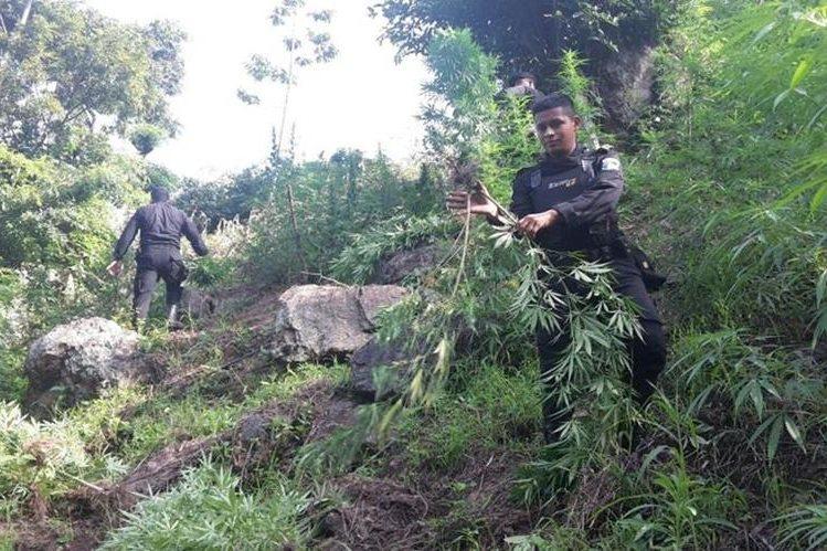 Agente de la PNC destruye una mata de marihuana en Camotán, Chiquimula. (Foto Prensa Libre: Edwin Paxtor)