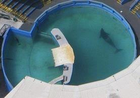 """La orca """"Lolita"""" lleva 46 años confinada en una piscina y 36 sin contactar con otra de su especie."""
