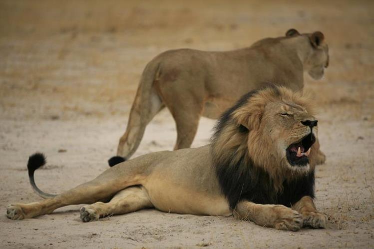 El estadounidense mató en julio pasado al emblemático león Cecil.(Foto Prensa Libre: AFP).