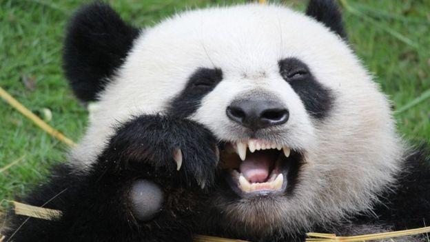 Qué dientes más grandes tienes... (Foto Prensa Libre: Getty Images)
