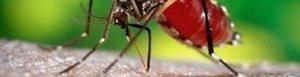 Mosquito que transmite virus de Zika.