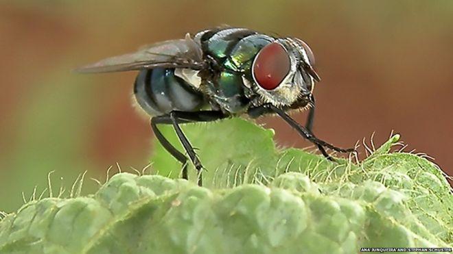 Los pelos en el cuerpo de las moscas atraen bacterias. ANA JUNQUEIRA Y STEPHAN SCHUSTER