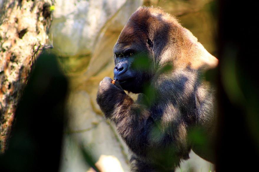 Ilustración. El gorila más grande del mundo está a punto de extinguirse a causa del incremento de la caza ilegal en la República Democrática de Congo. (Foto Prensa Libre: EFE).
