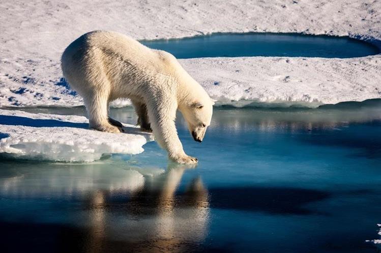 Imagen sin fechar que muestra un oso polar en el Ártico. (Foto Prensa Libre: AFP).