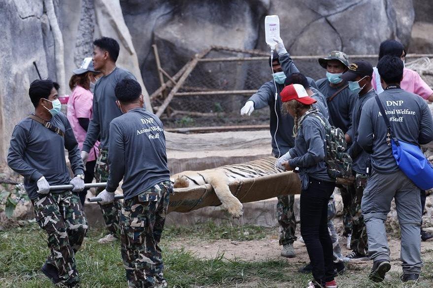 Trabajadores del Parque Nacional tailandés trasladan a un tigre del Templo de los Tigres en la provincia de Kanchanaburi (Tailandia). (Foto Prensa Libre: EFE).