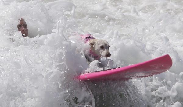 Un perro compite en el evento anual de Petco Surf City Surf Dog en Huntington Beach. (AFP).