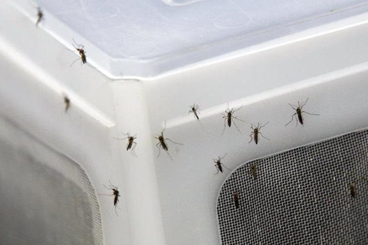 Mosquitos Aedes aegypti en un laboratorio. Puerto Rico un país tropical teme un impacto mayor por el zika. (Foto Prensa Libre: AP).