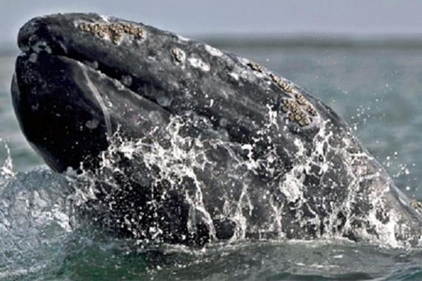 <p>Una ballena jorobada fue salvada por equipos de rescate tras permanecer varada en la playa Tamarindo, Nicaragua. (Foto Prensa Libre: Archivo)<br></p>
